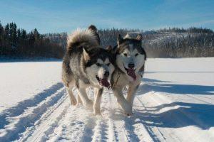 chien-de-traineau-moto-neige-quebec-canada-lac-st-jean-initiation